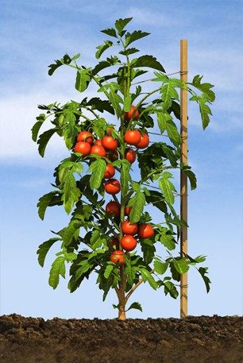 tomato_stage